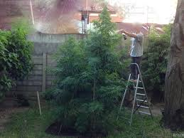 super silver haze and white rhino 9 foot tall grow journals