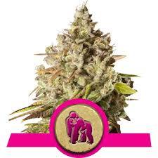 top 10 best feminized cannabis strains rqs blog