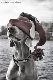 minneapolis photography a weimaraner has on his