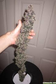 growing autoflower with led lights peyton s sour sky hempy grow 2014