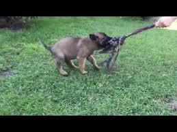 belgian shepherd for sale in india working dogs in india u2013 belgian malinois u2013 dutch shepherd we all
