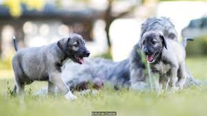 bbc earth a dog has given birth to the first identical twin