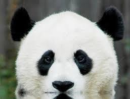 Bear Halloween Makeup by Real Panda Bear U003d U003d Makeup Inspiration Panda Collections