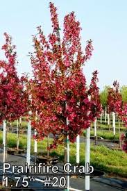 ornamental trees for zone 6 best small ornamental trees for zone