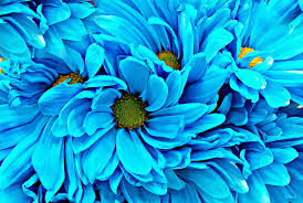 blue flowers pretty blue flowers taken at one of my favorite free prop flickr