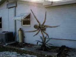 I Saw A Spider Meme - fact check giant hawaiian cane spider