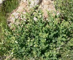 native desert plants herbaceous plants of the mesquite nevada desert