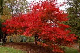 japanese maple colors u0027s gardening blog