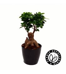 plante d駱olluante chambre depolluante plantes vertes et fleuries ficus ginseng bobylaplante