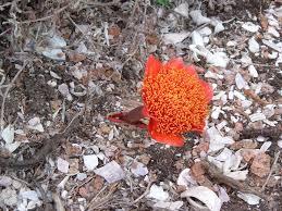 flowers desert flower beautiful red wallpaper free download for