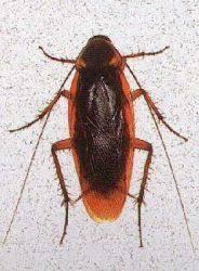 light brown roach looking bug oklahoma roaches strike 3 pest control
