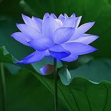 Lotus Flower Parts - amazon com 10pcs sapphire lotus seeds patio lawn u0026 garden