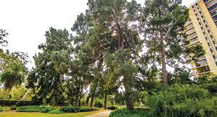 the top ten trees of balboa park san diego informer