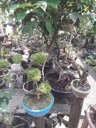 pohon bonsai jadi buruan masyarakat bangka belitung www newsbisnis com