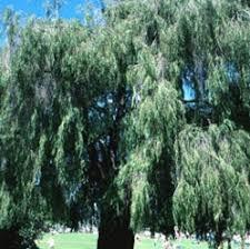 peppermint tree australian willow myrtle