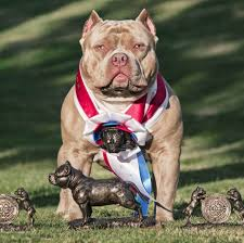 american pitbull terrier qualities dog shows what you need to know before getting in the ring