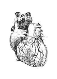 hand drawing of the human heart royalty free cliparts vectors