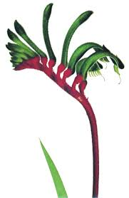 native western australian plants department of the premier and cabinet floral emblem
