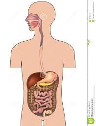 Human Body Anatomy Pics Human Digestive System Human Body Anatomy Stock Photography