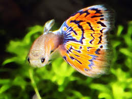 beautiful ornamental fish april 2010