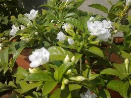 plants growing in my potted garden crape jasmine carnation of india