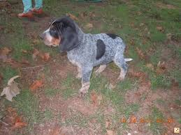 bluetick coonhound forums bluetick coonhound help texasbowhunter com community discussion