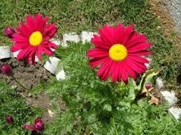 123 best daisies images on pinterest flowers daisy flowers and
