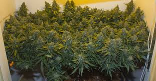 Plants That Grow In Dark Rooms by How Much Marijuana Can One Plant Produce A Pound
