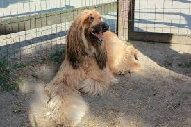 afghan hound weight afghan hound history temperament care training u0026 more