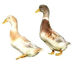 where to buy duck where to buy saxony ducks johnson s waterfowl efowl