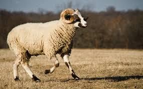 Oklahoma wildlife tours images Shepherds cross farm tours sheep garden wool museum silo jpg