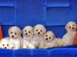 bichon frise kentucky rules of the jungle bichon frise puppies