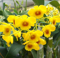 yellow orchids egg stra beautiful yellow orchids for easter orchidaceous