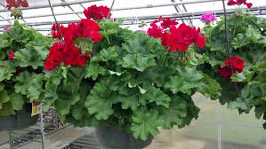 geraniums fairview garden center
