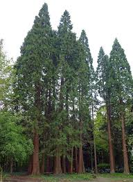 the major north american conifers with descriptions