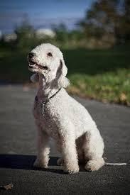 bedlington terrier guard dog bedlington terrier dog breed information