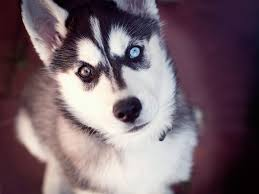 Husky 2 Ton Jack by Husky Of Two Different Eyes Wallpaper Husky Love Pinterest