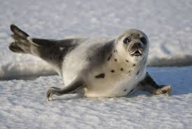 harp seal facts pictures u0026 more about harp seals