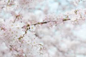 spring flower free stock photos of cherry blossom pexels
