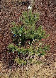 southern utah gardening a living christmas tree is the perfect