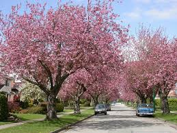 no 1 worlds best flowering trees temperate a gallery on flickr