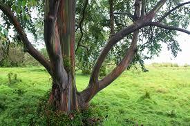 eucalyptus deglupta catherine 2017
