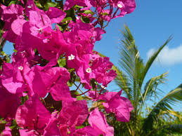 mlewallpapers com bougainvillea and palm tree