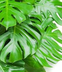plantes d駱olluantes chambre le philodendron le chion des dépolluants ces plantes