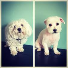 maltipoo before and after grooming at my love fur paws in austin
