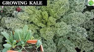 growing kale a complete guide to grow the best kale in your