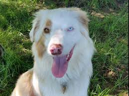 australian shepherd family dog honeycreek australian shepherds akc standard aussies puppies