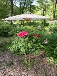 a brief introduction to japanese tree peonies crickethillgarden