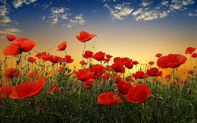 poppies flowers poppy hd wallpaper and background 1920x1200 id 410715