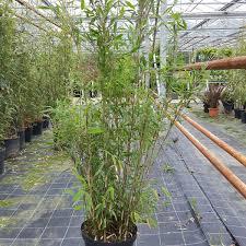 Non Invasive Climbing Plants - bamboo fargesia nitida great wall non invasive bamboo plants 5